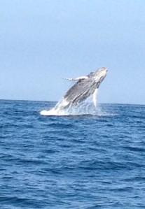 Mancora Peru: whale breaching
